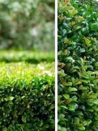 Trimmed shrubs in Davenport, FL